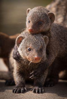 earthandanimals:  Mongoose siblings. Photo byFrank Rønsholt