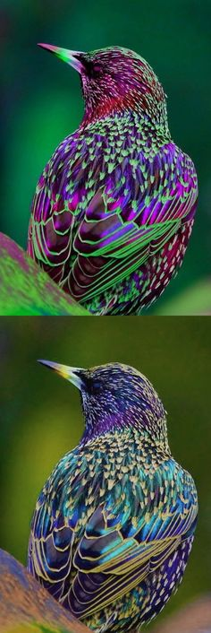 Fake - Rainbow starling / Amaranthine - Real image on the bottom, common starling (Sturnus vulgaris)
