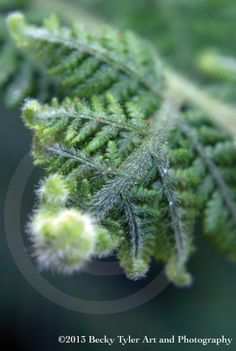 Curling Fern Fine Art Photo Print by BeckyTylerArt on Etsy, $20.00