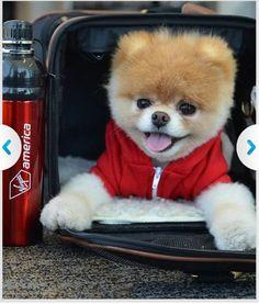 I want a Boo dog!!! So adorable ♡