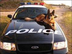 german shepherd dogs - perfect for police service, no, perfect for a redneck like me :)