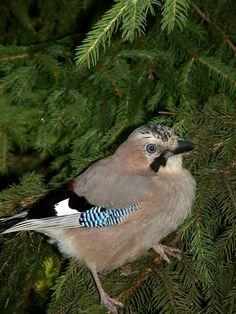Eichelhäher bird