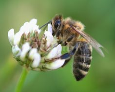 """To make a prairie it takes a clover and one bee."" – Emily Dickinson"