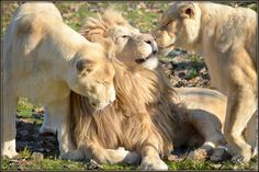 Lions <3 my favorite since I was a kid watching the lion king