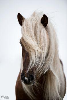 Icelandic horse with a stunning mane in portrait. #horsephotography #pferdefotografie