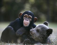 A 5-month-old grizzly bear named Bam Bam has found the ultimate playmate in a 16-month old chimp, Vali. The two found some time to cuddle at the Myrtle Beach Safari park in South Carolina, where they both live.