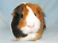 Lean everything you need to know to raise a happy and healthy Guinea Pig.  From what to feed a Guinea pig to how they play, we've got you covered!