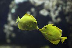 angel fish kiss  http://terriblycute.com/category/cats-2/