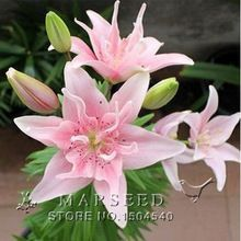 20 perfume flor de lirio semillas germinación 99% barato flor suministros enredaderas semillas bonsai jardín ollas plantadores de guardería en casa(China (Mainland))