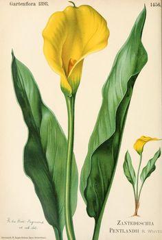 Zantedeschia pentlandii. Plate from Gartenflora. Published 1898 by F. Enke archive.org