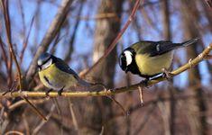 File:Winter Russian birds, Blue Tit and Great Tit (Лазоревка u синица).jpg