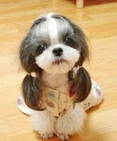Shih Tzu in pigtails cuuuuuute! I used to have a shih tzu, I really want another one. They are such cute good dogs! Animals And Pets, Baby Animals, Funny Animals, Cute Animals, Animal Babies, Animals Images, Cute Puppies, Cute Dogs, Dogs And Puppies