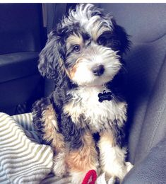 The many things we all admire about the Yorkshire Terrier Cute Puppies, Cute Dogs, Dogs And Puppies, Doggies, Aussie Puppies, Animals And Pets, Baby Animals, Cute Animals, Bernedoodle Puppy