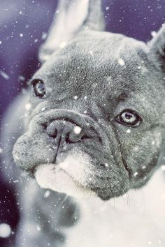 This is a wise, caring pet dog who wants and needs to invest great deals of time with his people. A fun-loving freethinker, the French Bulldog takes well to training when it's done in a favorable way with great deals of food rewards, appreciation, and play. Training Your Dog Basics For Virtually Any Family As being a new dog owner, you could be overwhelmed with the level of work it takes to make sure your pet dog is both healthy and well behaved. This article will present you with tips reg Cream French Bulldog, French Bulldogs, French Bulldog Temperament, Pet Dogs, Pets, Hyper Dog, What Kind Of Dog, Puppy Names, Dog Signs