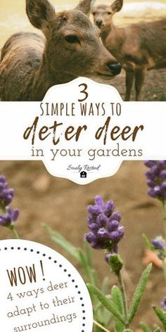 It was our first garden on our new homestead and we needed to learn how to deter the deer from dining on our veggies. These 3 simple things made a huge difference and kept the deer away. #KeepDeerOutOfGarden #deer #gardening #deterdeer #homesteading #farmtotable #sustainableliving #farm #garden #growyourownfood