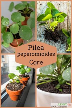 PIlea peperomioides Care: The Best Water, Light, and Fertilizer - Modern Indoor Gardening Supplies, Container Gardening, Pilea Peperomiodes, Snake Plant Care, Chinese Money Plant, Fertilizer For Plants, Plant Diseases, House Plant Care, Mother Plant