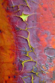 The orange-red bark of a Madrone evergreen tree