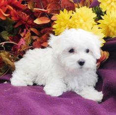Mariah - A Maltipoo Puppy