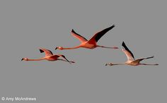 flamingos+in+flight | Three American Flamingos in flight