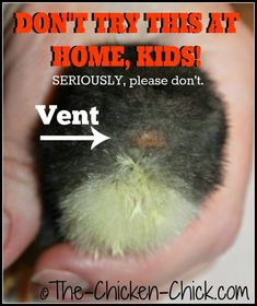 Vent sexing sounds and appears very straightforward, but it is a true science and an art form and should not be attempted by backyard chicken keepers. When improperly performed, day old chicks are at risk of disembowelment and death. Baby Chickens, Chickens Backyard, Urban Chickens, Keeping Chickens, Raising Chickens, Day Old Chicks, Chicken Incubator, Chicken Breeds, Chicken Coops