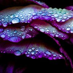 Tom McLaughlan // Macro water droplets on petals