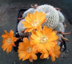 Blog dedicado a Rebutia, Aylostera, Mediolobivia, Weingartia, Sulcorebutia y otros cactus.