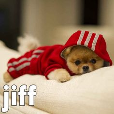 By cozying up in a onesie on a cold winter day. | 17 Ways Jiff The Pomeranian Celebrated The Holidays