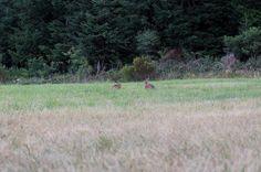 #lièvre #approche #affût #chasse #hunt #jakt #jagt http://misstagram.com/ipost/1554190236811224702/?code=BWRl8kyg2Z-