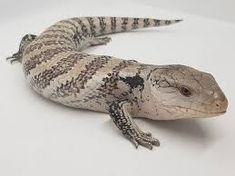 Image result for deaser skinks Animals, Image, Animales, Animaux, Animal, Animais