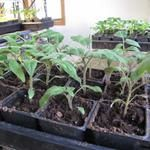 4-Week Old Heirloom Tomato Plants & 10 Tips for Potting Them Up