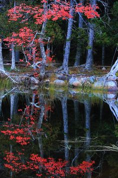 ✯ Red Oak Reflected in a Forest Pond