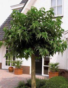 Photo Mûrier à grandes feuilles