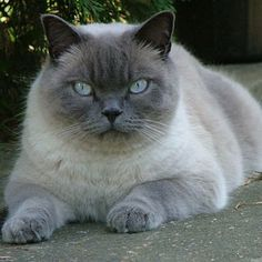 BRITISH SHORTHAIR - looks just like my Vegas
