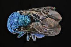 Chrysidid wasp, unknown, back, Maryland_2012-08-30-15