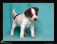 "Danish-Swedish Farmdog - Dansk/Svensk Gårdshund ""Lille Man""  #puppy"