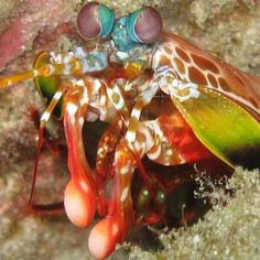 The psychedelic-looking peacock mantis shrimp (Odontodactylus scyllarus) has a decidedly non-peacenik way of getting a meal: clubbing it.    This small (3 to 18-