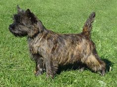 Brindle Cairn Terrier~nice form and coat color. Looks just like my Gus!