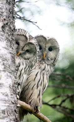 cloudyowl: Ural Owls by mustamursu