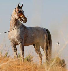 AL-Mohamadia Arabian Horse Stud :: Endurance
