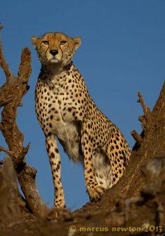 Cheeky cheetah pic on @Belinda Bradley Wildlife Conservancy
