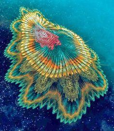 Spanish Dancer Jellyfish. . Beautiful!