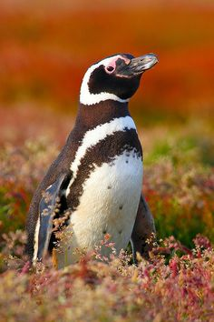 Magellanic penguin, alert near nest burrow at Sea Lion Island, Falkland Islands. Penguin Bird, Penguin Love, Cute Penguins, Penguin Craft, Penguin Species, Bird Species, Galapagos Penguin, Aquatic Birds, Flightless Bird