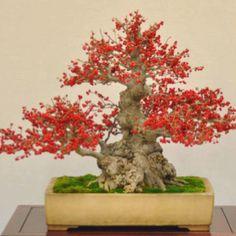 Japanese Winterberry (Ilex Serrata)  Red Bonsai Tree. - Fantastic!