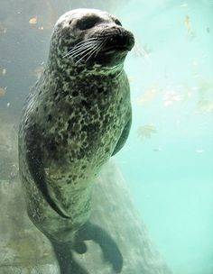 Harbor Seal (Phoca vitulina) Pinniped - Wikipedia, the free encyclopedia Baby Animals, Cute Animals, Harbor Seal, African Grey Parrot, Oceans Of The World, Ocean Creatures, Sea Monsters, Marine Life, Under The Sea