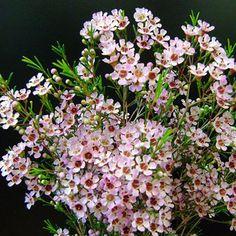 Wax Flower: Juriens Brook wholesale