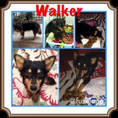 Houston, TX Walker is a Sheltie mix who was rescued and adopted but now he's back up for adoption. He had been adopted by a local sportscaster but he sa...