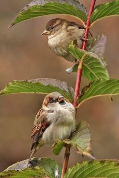 House Sparrow young male & female.
