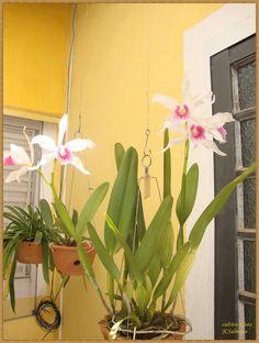 orquidea comum tuberculo longo