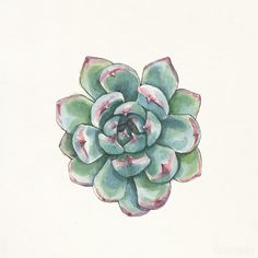 Echeveria chihuahuensis - Watercolor and Ink