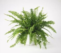 Boston Fern - non-toxic to cats. What Are Some Tips for Growing Healthy Boston Ferns Indoors? Indoor Ferns, Best Indoor Plants, Fern Care Indoor, Boston Ferns Care, Hanging Ferns, Hanging Baskets, Easy To Grow Houseplants, Palmiers, Begonia